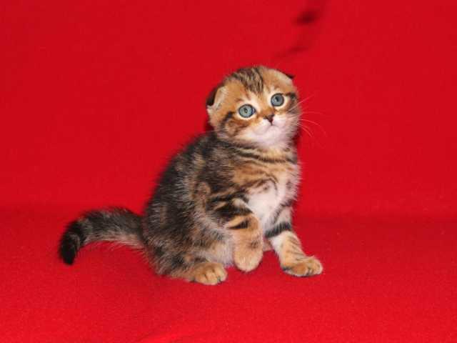 Продам Шотландский вислоухий тигрёнок