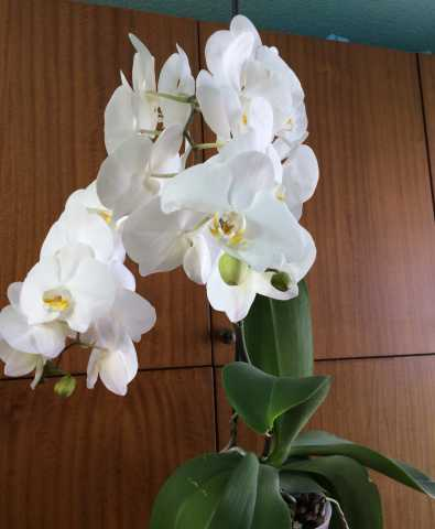"""Продам Цветы """" Орхидеи """" для букета"""