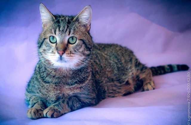 Отдам даром Мурчик — очаровательный крупный котик