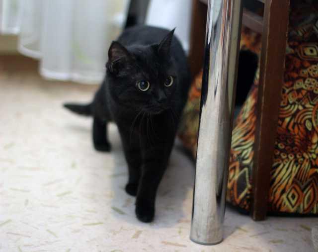 Отдам даром Чёрная кошечка Молли ищет дом