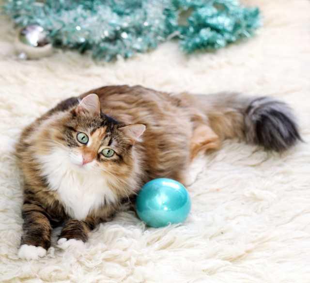 Отдам даром Мурчелла, миниатюрная кошка а-ля сибиряч