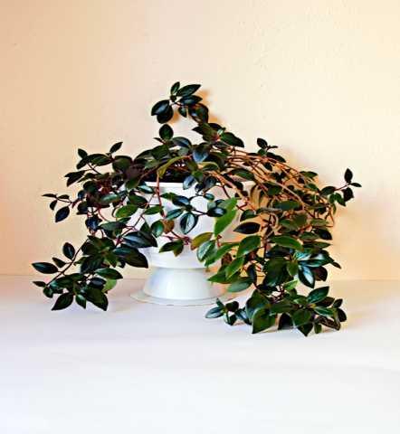 Продам Цветок домашний эсхинтатус