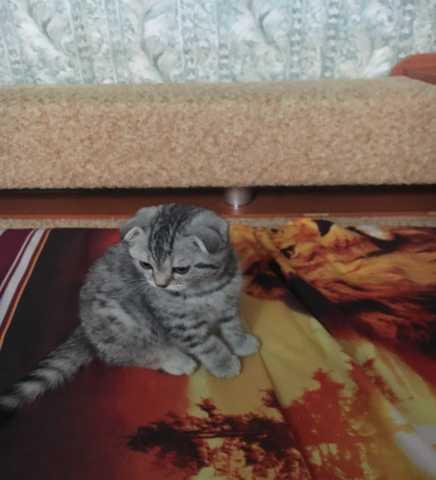 Продам продам шотландский котята