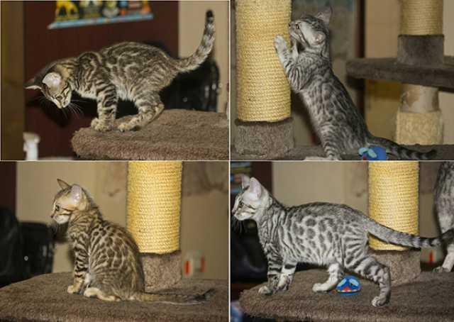 Продам ручные леопардовые котята