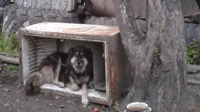 Отдам даром Дворовый пёс мальчик, 4 года