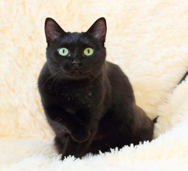 Отдам даром Кошка Ежевика 2г., разумная черная котоЛ