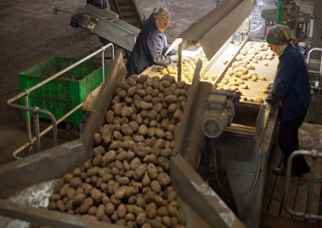 Продам картофель опт