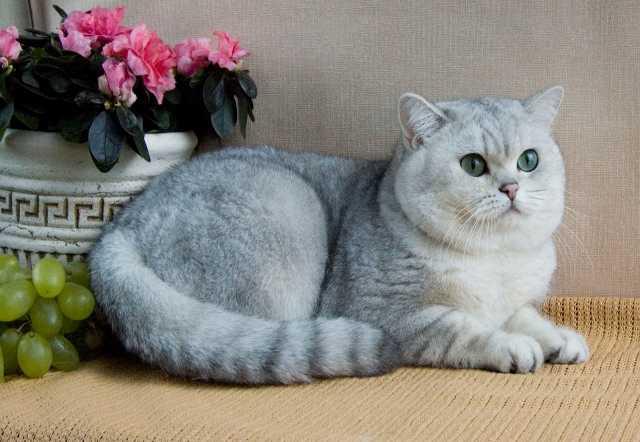Продам Продажа элитных британских котят в Чехии