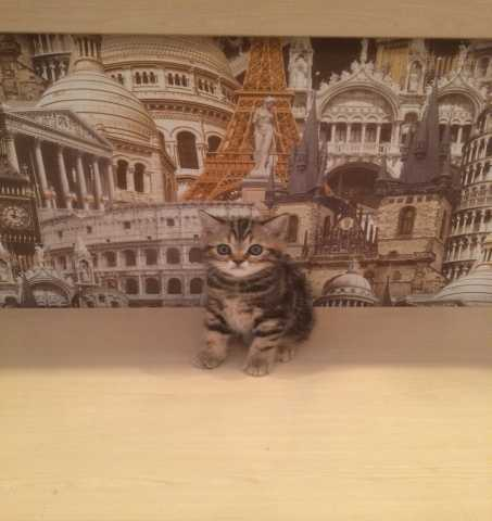 Продам Котенка Шотландского страйта