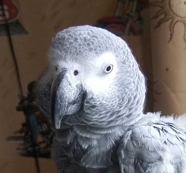 Приму в дар Большого попугая возьму в хорошие руки