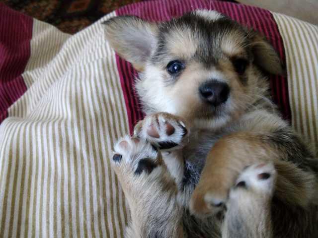 Продам Щенок маленькой комнатной собачки