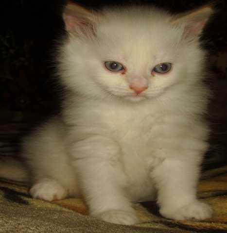Продам Снежный котик породы Невская маскарадная