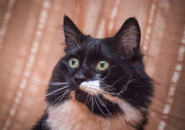 Отдам даром Пушистый черно-белый кот Пуффи для уюта