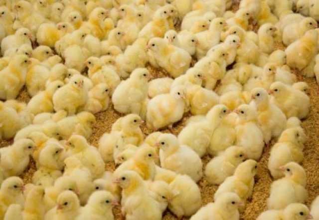 Продам Цыплята суточные бройлеры КОББ 500