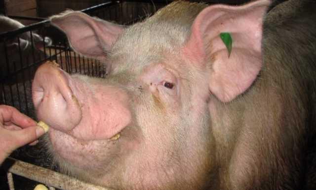 Продам Хряк и свиноматка беременная