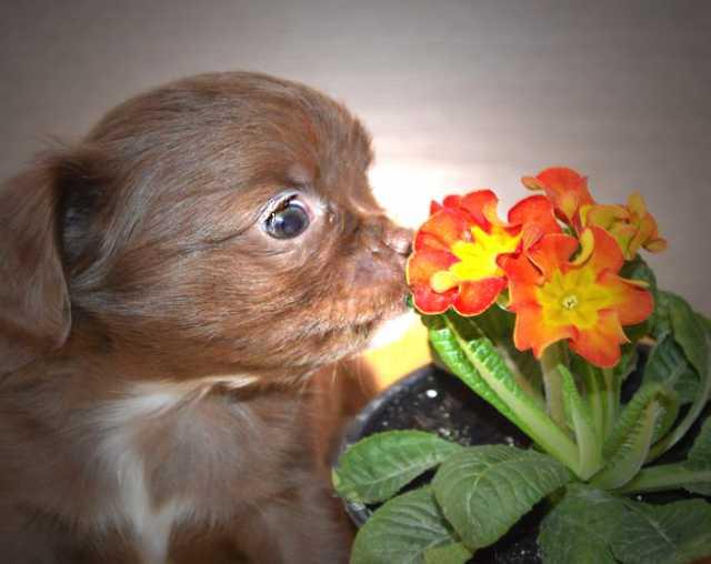 Продам щенки чихуахуа эксклюзивных окрасов.