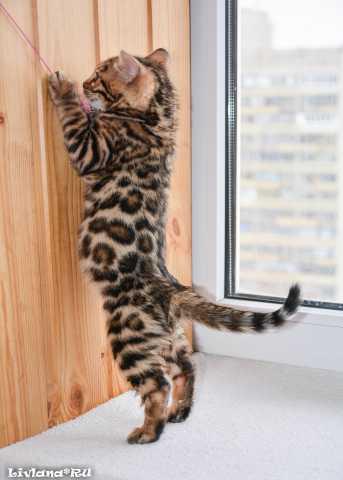 Продам Бенгальские котята