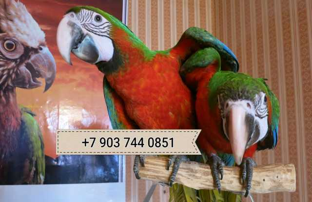 Продам Гибрид попугаев ара Арлекин - птенцы