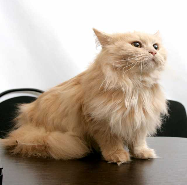 Отдам даром Рыжая кошка Томасина