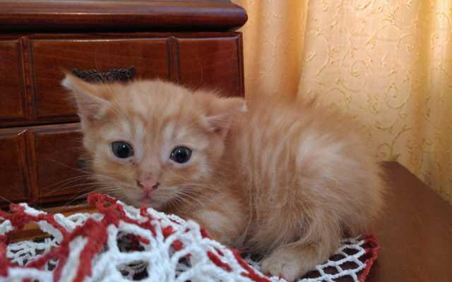 Отдам даром котенок Рыжик