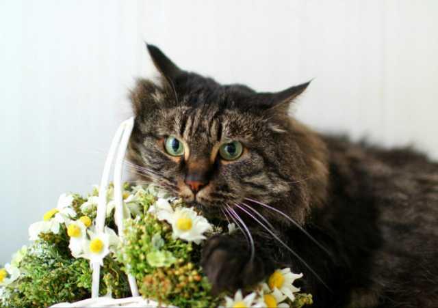 Отдам даром Сибирская кошка Анфиса в добрые руки.