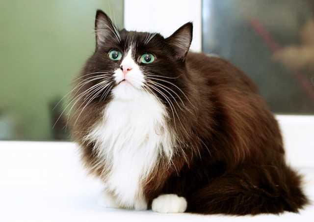 Отдам даром Муся-Обнимашка, очень ласковая кошка 3г.
