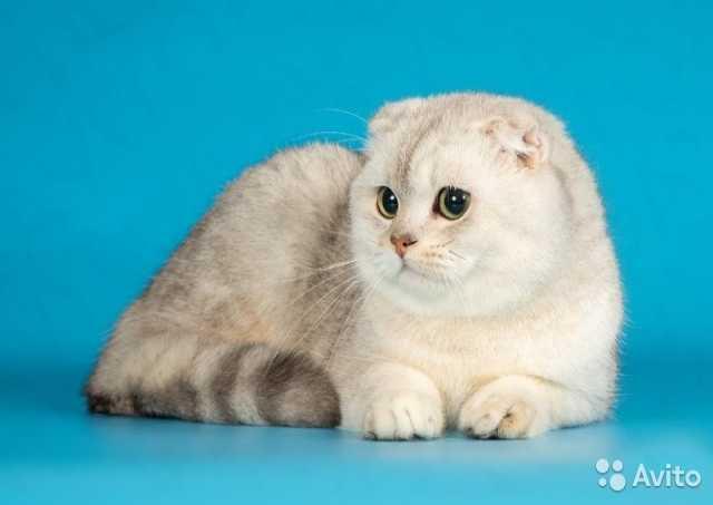 Предложение: Вязка с шиншилловым котом