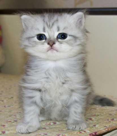 Продам Шотландских чистокровных котят