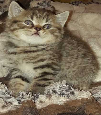 Продам продам котят британских