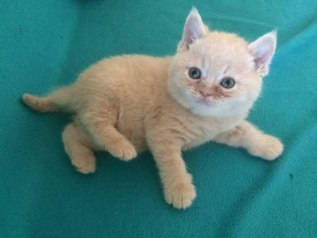 Продам Британские котята от чемпиона Мира