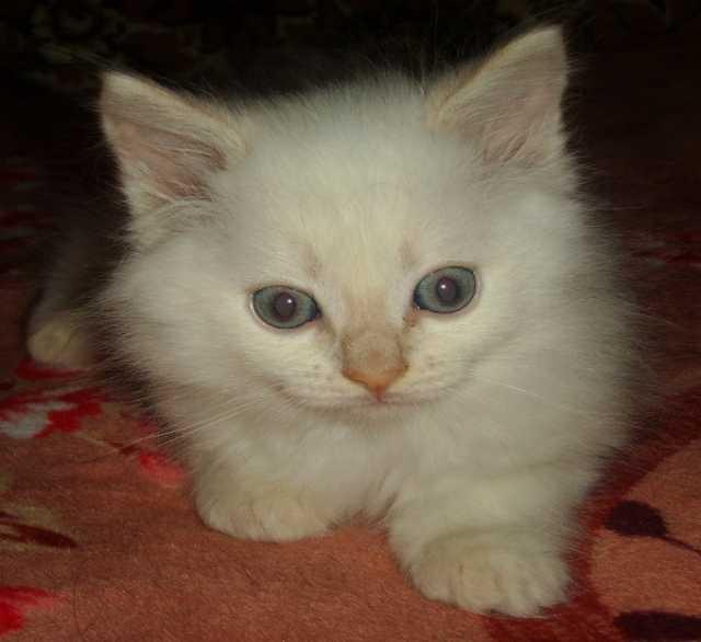 Продам Бусик, котик породы Невская маскарадная