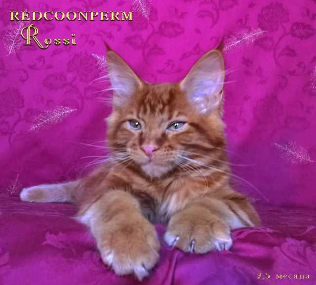 Продам котенок мейн кун красный. Шоу класс
