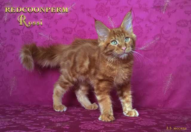 Продам: котёнок мейн кун