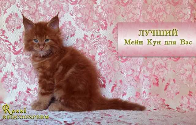 Продам котенок мейн кун  красный