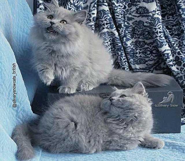 Продам Британские длинношерстные голубые котята