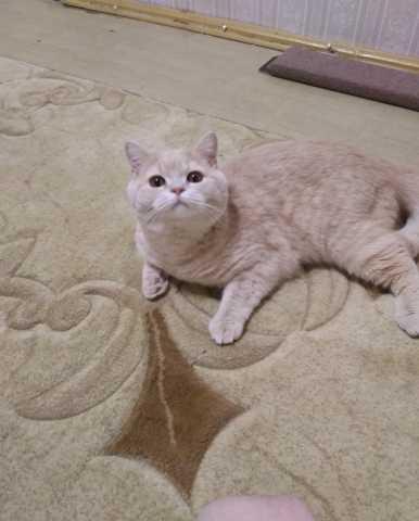 Продам Британский кот