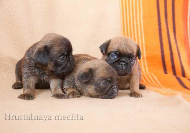 Продам Клубные щенки пти брабансона