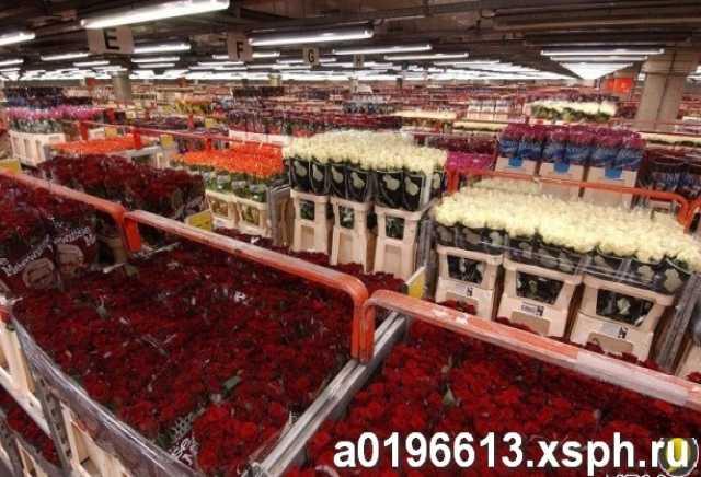 Продам Розы оптом, Новосибирск. 50,60,70 см
