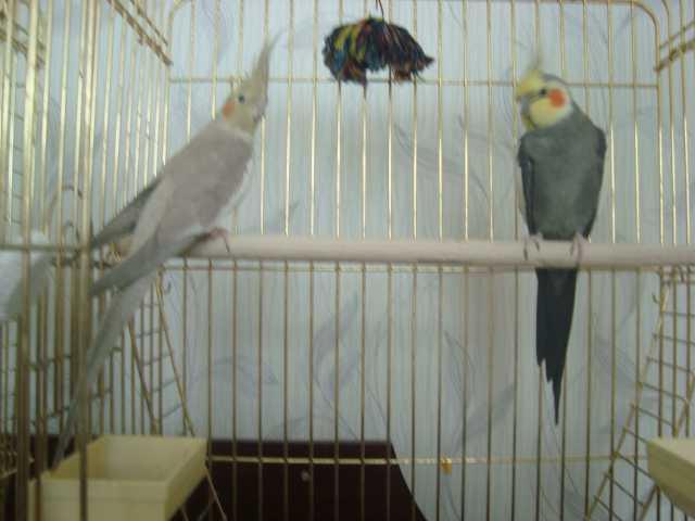 Продам Попугаи Корелла: мальчик+девочка+клетка
