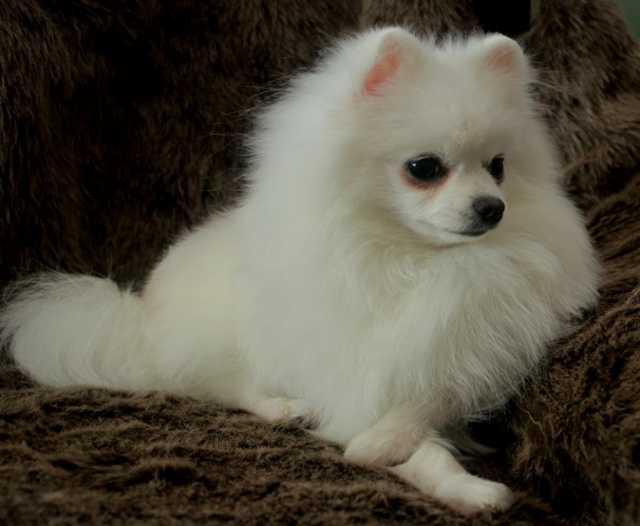Продам щенок померанский шпиц