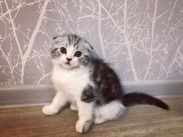 Продам Шотландских котят с документами