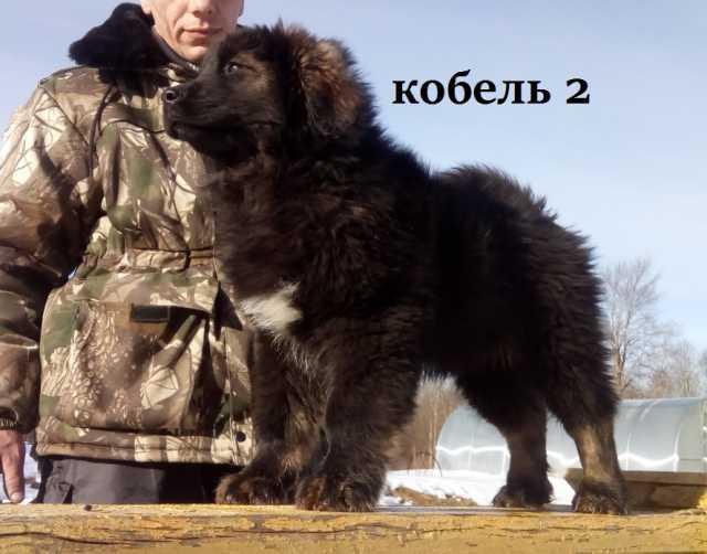 Продам Щенки Монгольской овчарки Банхара