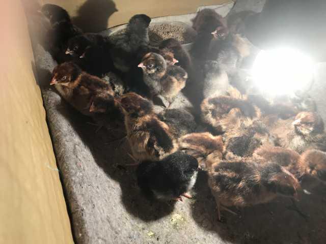 Продам Цыплята яйценоской
