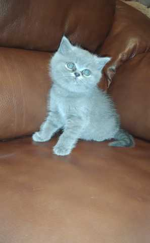 Продам Британские голубые котята