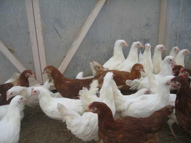 Продам Куры несушки хайсекс белые и коричневые