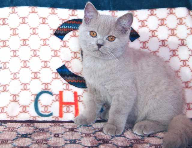 Продам Британский лиловый котик от чемпионов