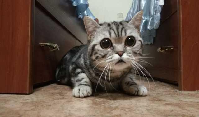 Продам Британская кошка