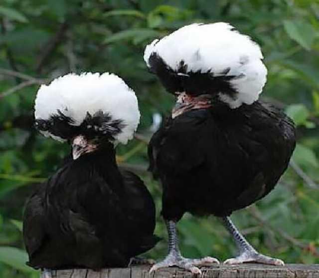 Продам Цыплята породных кур