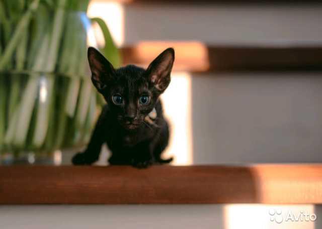 Продам Ориентальные котята