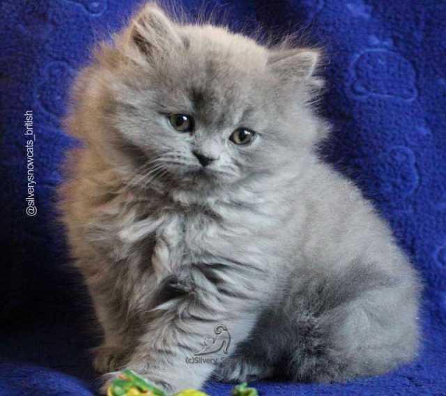 Продам Длинношерстные ГОЛУБЫЕ британские котята